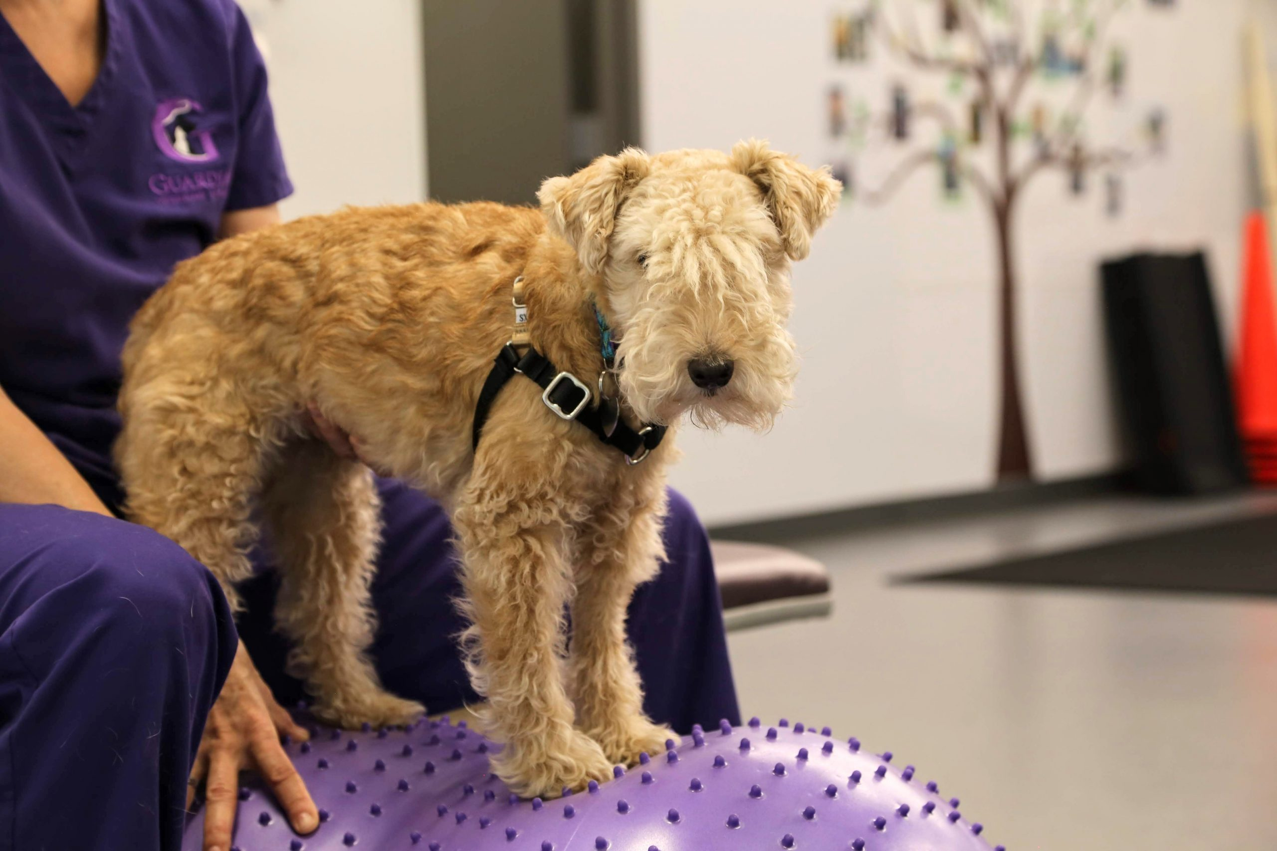 dog standing on purple exercise ball