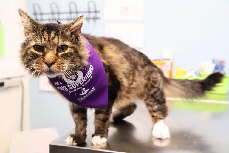 tabby cat wearing purple bandana