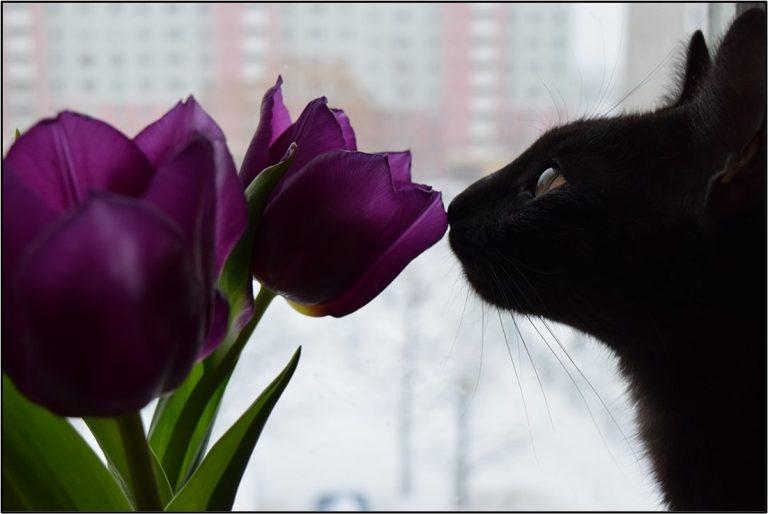 Black cat sniffing tulip flower