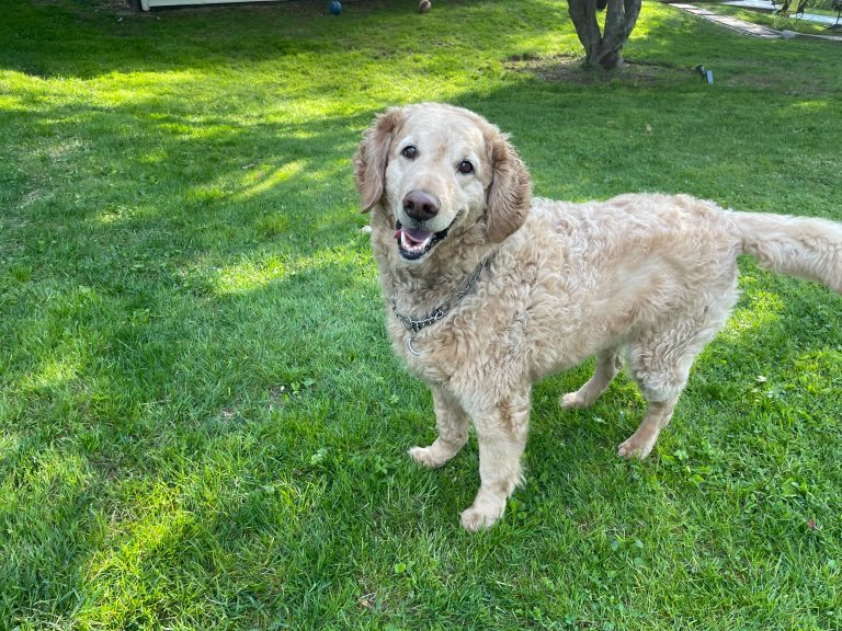 yellow goldendoodle standing on grass in sunshine